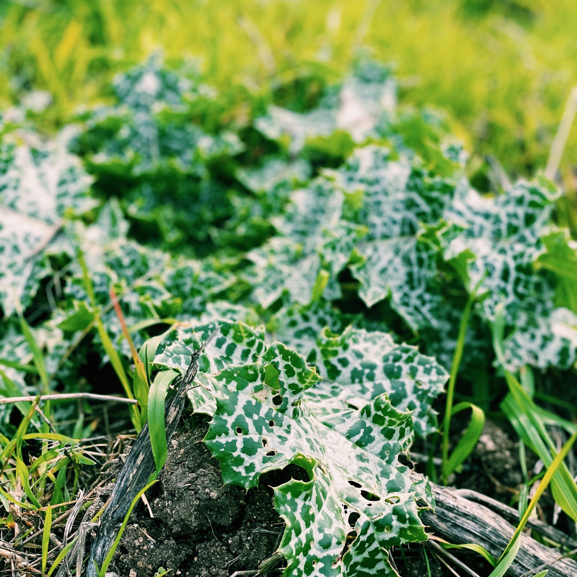a vibrant, close up shot of a leafy forest-green weed with white speckling amidst the grass